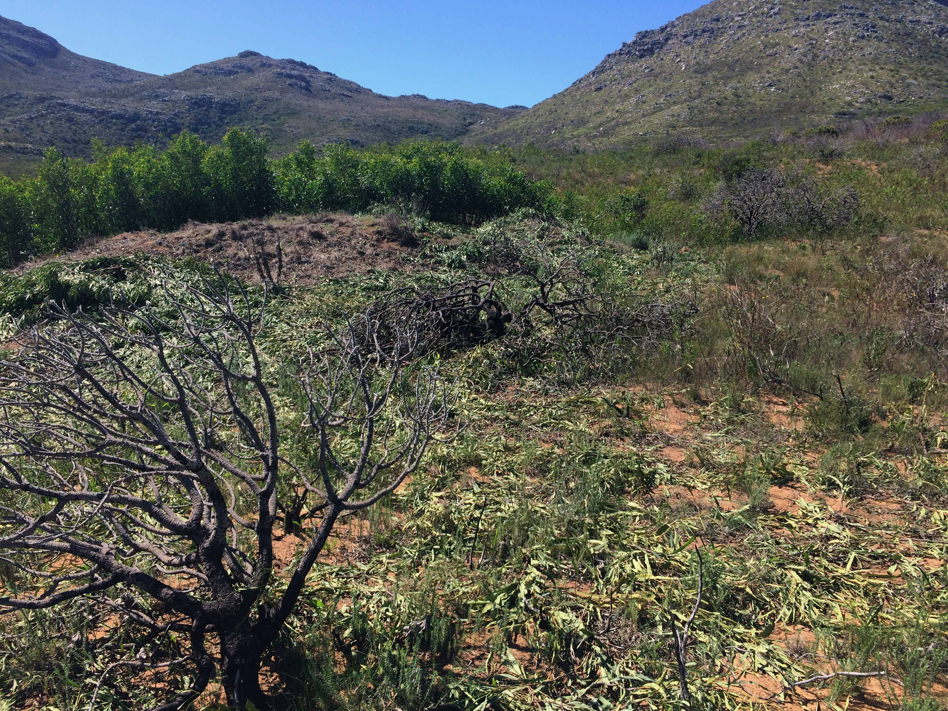 The change detection tool can detect incremental invasion of Fynbos by alien woody species as well as vegetation clearing. (Credit: Jasper Slingsby)